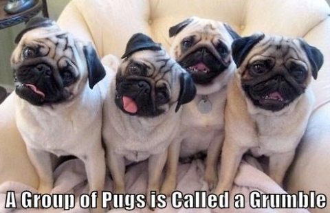 group of pugs