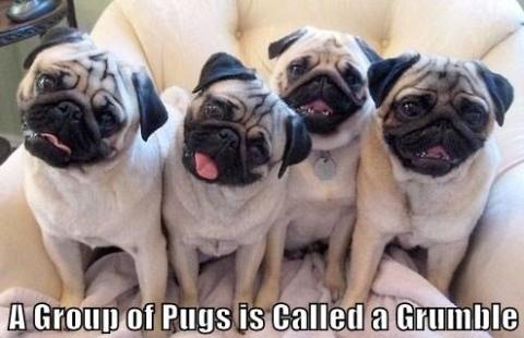 group of pugs