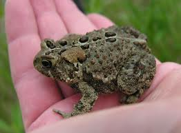 My sister took a picture of me holding the toad.  This is not the picture.  I got this from http://exoticsandmore.blogspot.com/2011/04/species-of-day-american-toad.html